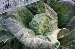 cabbage_9451_s.jpg