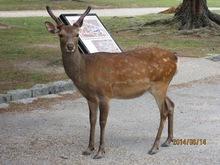 奈良公园里的梅花鹿