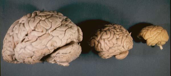 霊長類の脳の外観